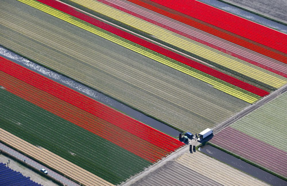 Flower fields near the Keukenhof park, the Netherlands