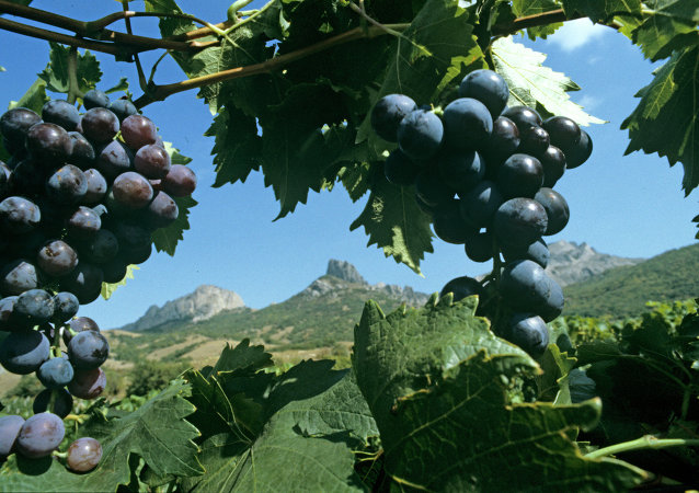 The famous Muscat Hamburg grapes on the plantations of Koktebel, Crimea