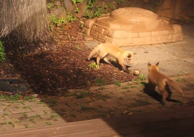 Fox Pups Playing with Dog's Ball