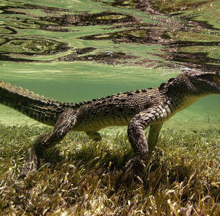 American saltwater crocodile snapped in Chinchorro Atoll, Mexico