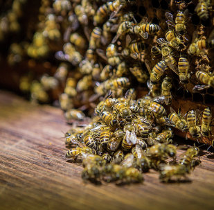 Beekeepers first noticed a rise in the deaths of their bees in the mid 1990s, but it didn't come to widespread attention until the middle of the last decade. The phenomenon was dubbed colony collapse disorder and in 2013 the highest rate of bee deaths was recorded when 45% of colonies were lost.