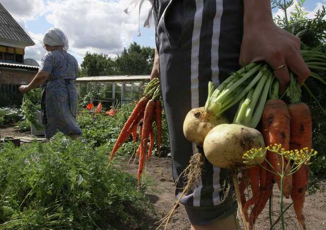 Harvesting on country sites in Omsk region