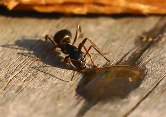 Drunk Ant