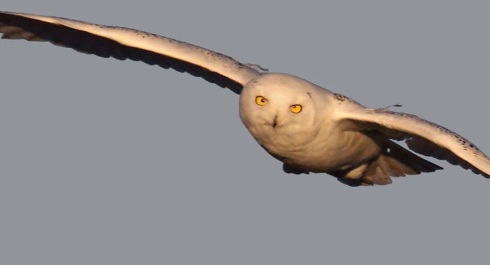 Snowy owl on the hun