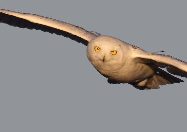 Snowy owl on the hun