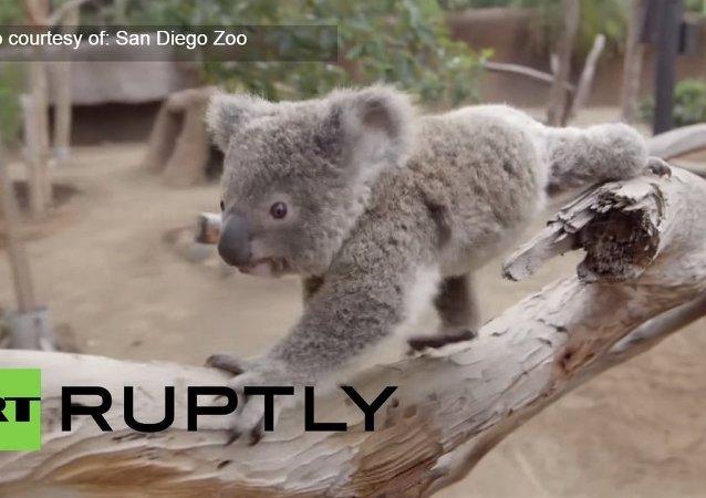See cute koala joey frolic around at San Diego Zoo