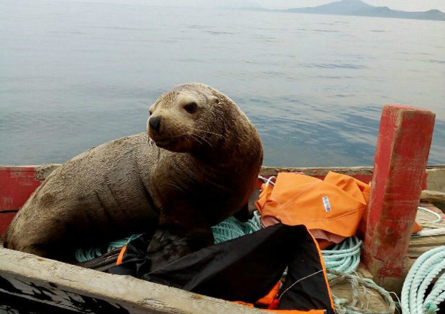 A fur seal from the far eastern Russian island of Sakhalin has captured the hearts of the Russian nation after forcing a group of fisherman to drive him around on their boat for eight hours straight.