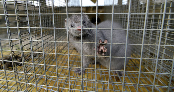 Mink looking out from a cage at a mink farm