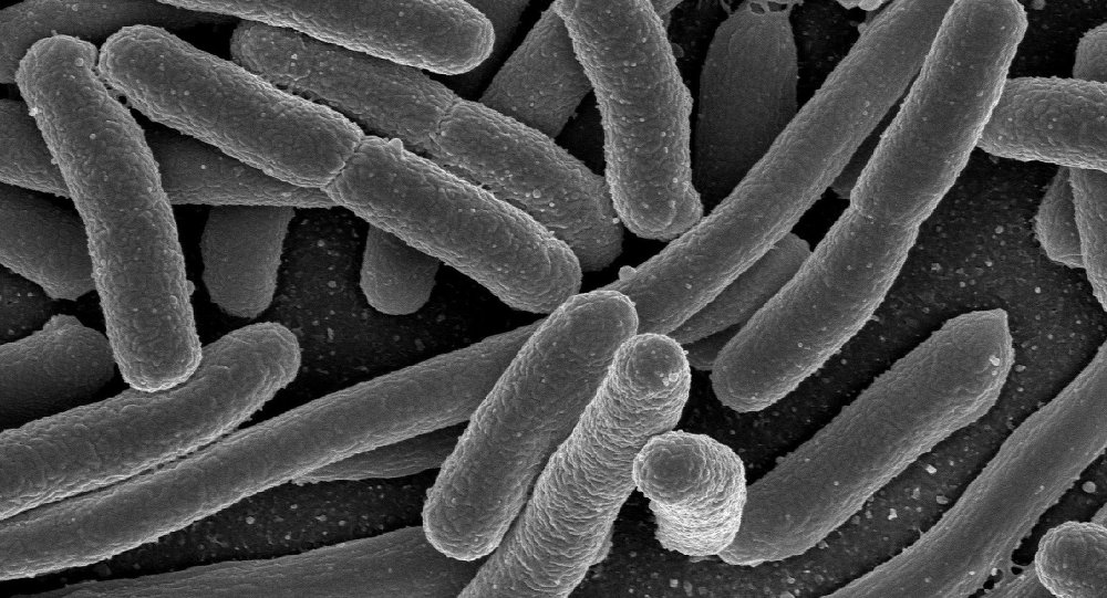 Electron micrograph of Escherichia coli, grown in culture and adhered to a cover slip.