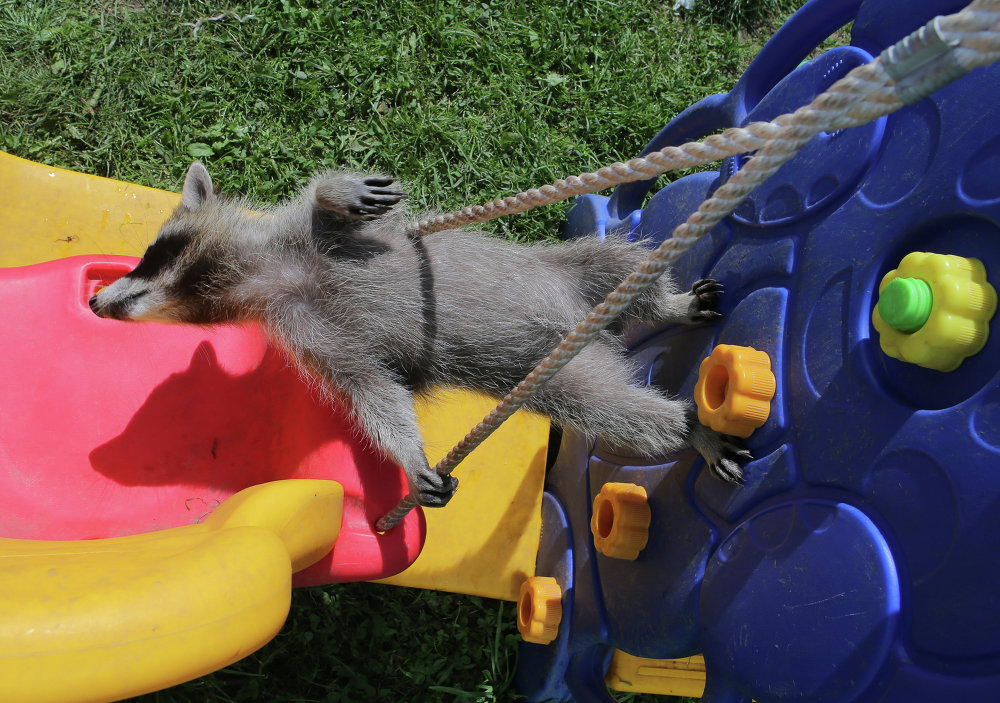 At Home With Moscow's Raccoons