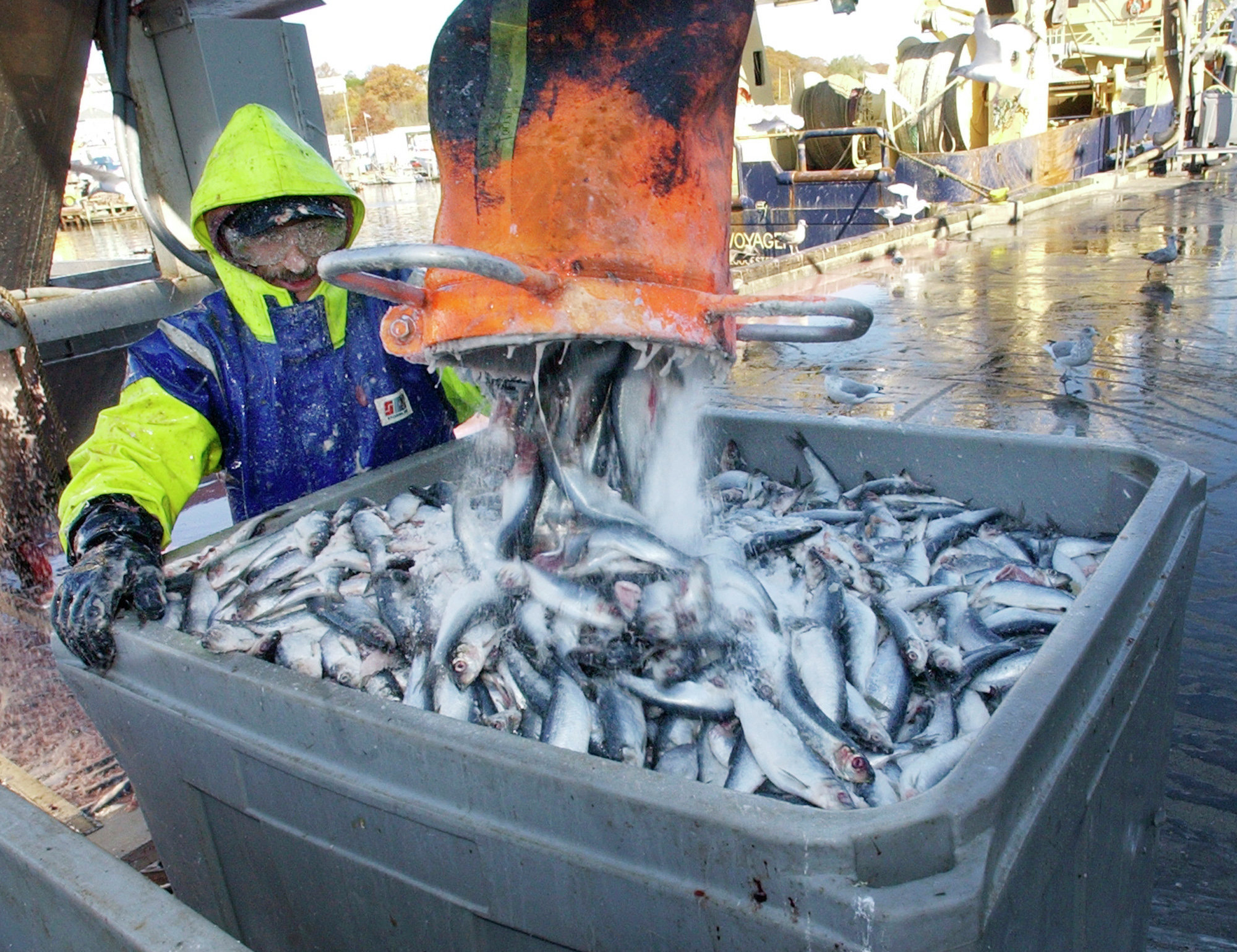 Dock worker Rick Libero, of Gloucester, Mass., processes herring at the Jodrey State Fish Pier in Gloucester