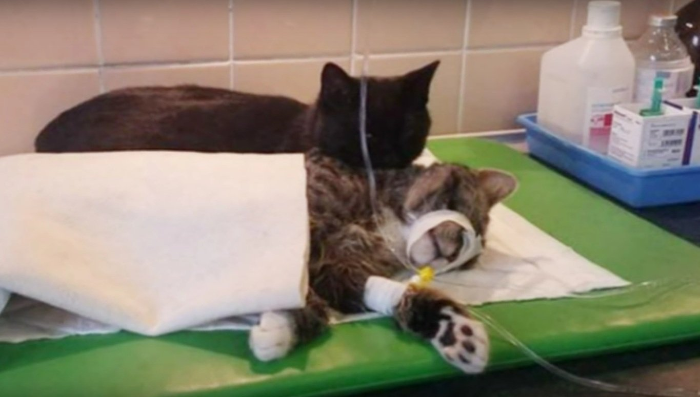 Rademenes The 'Nurse cat' Lends A Paw To Veterinarians At Polish Animal Shelter in Bydgoszczy