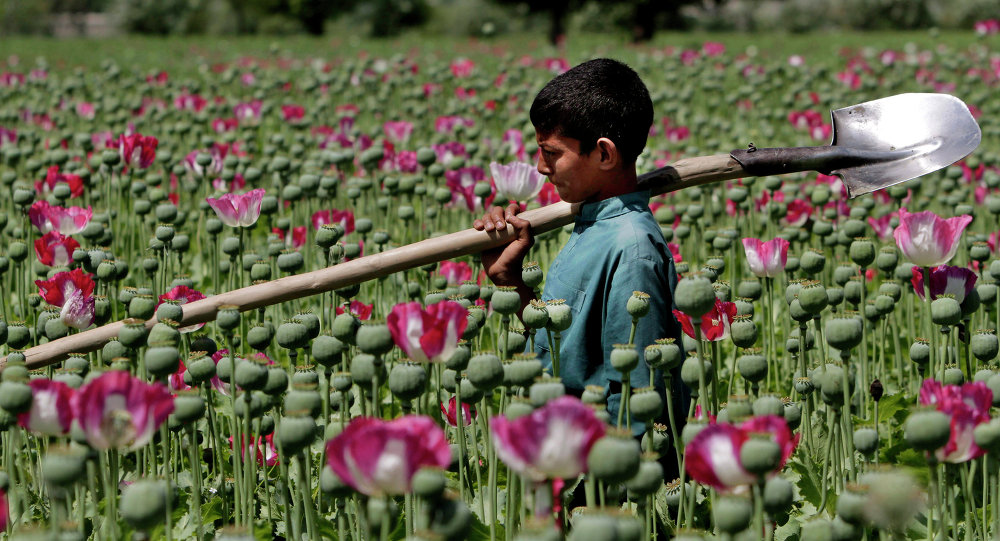 An Afghan boy walks through a poppy field in Khogyani district of Jalalabad east of Kabul, Afghanistan