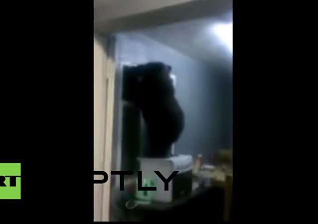 Bear nearly gets stuck trying to leave through window after break in!