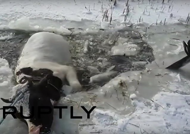 Russia: Rescuers use chainsaw to help free trapped cow from ice
