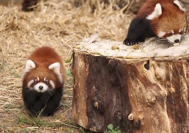 Red Panda Cubs on Exhibit at Lincoln Park Zoo