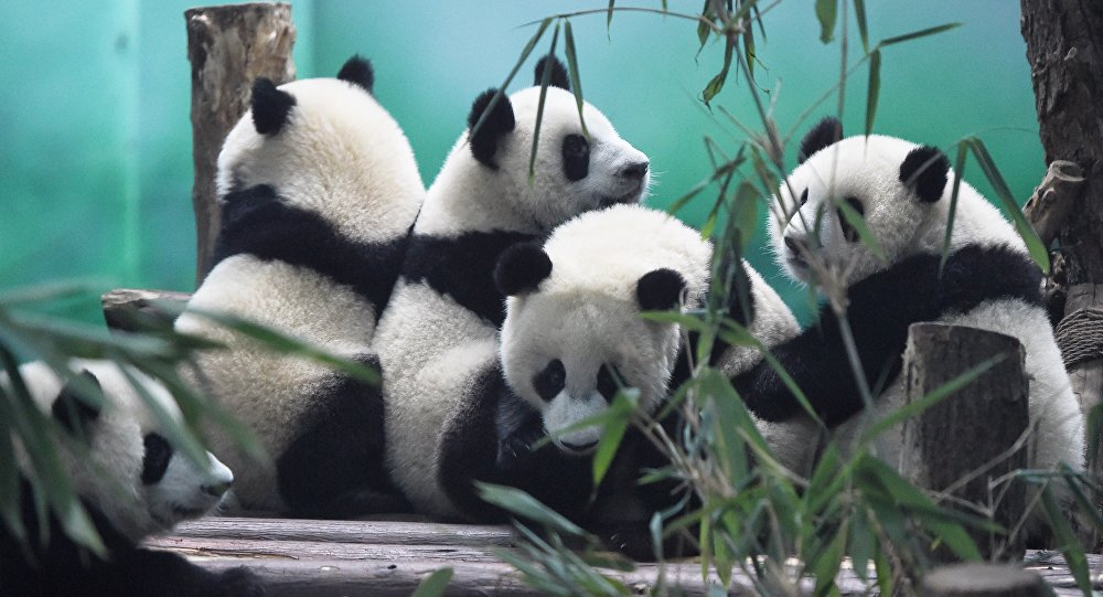 The image shows Pandas in Chengdu Research Base of Giant Panda Breeding, China