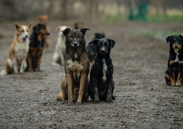 Serbian stray dogs