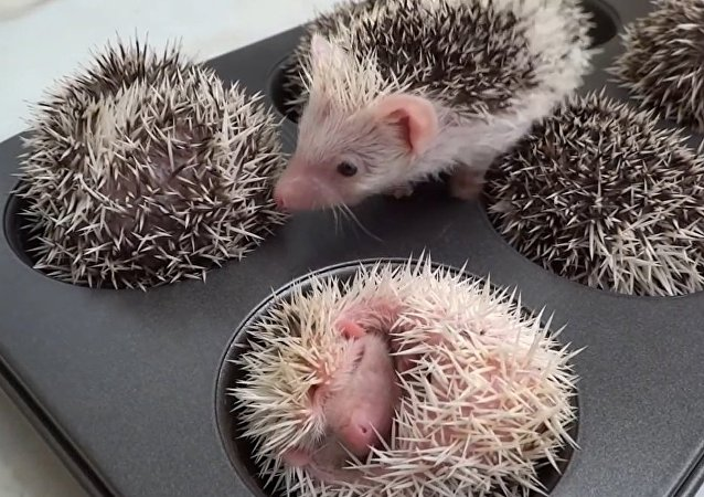 Hedgehog Muffins