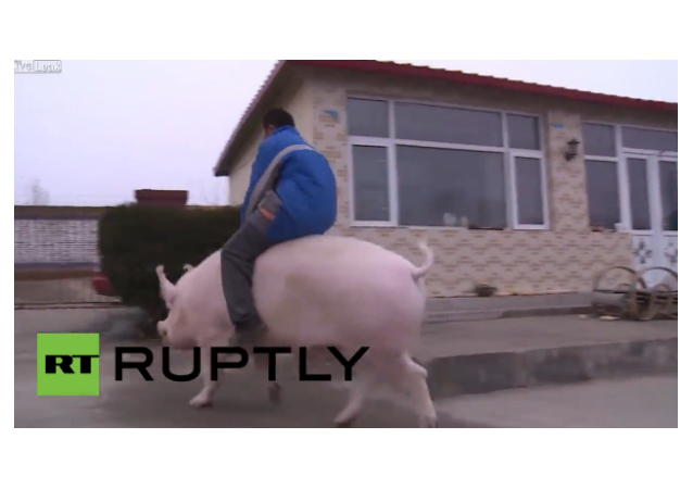 China: Hogzilla! See owner piggy-back MASSIVE pet sow like a horse
