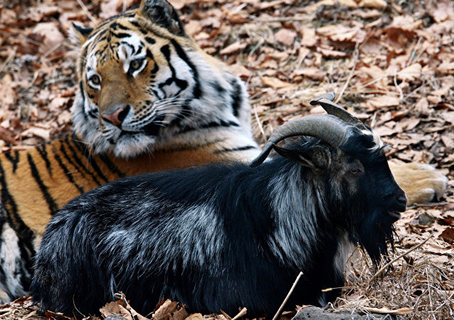 Siberian tiger named Amur and goat Timur in an enclosure at Safari Park in the Primorye Territory. Although tigers feed on live prey in the park all year round, tiger Amur did not eat goat Timur