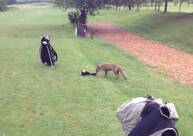 Fox steals club cover