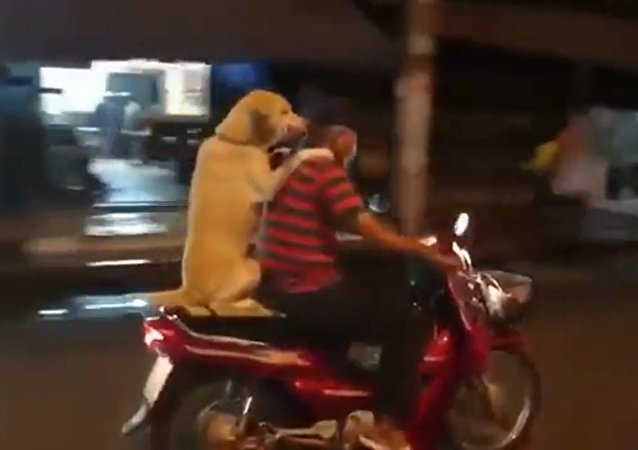 Dog Rides on the Back of the Scooter