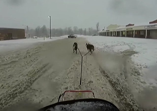 Border Collie dogsled at NB Tim Hortons drivethru