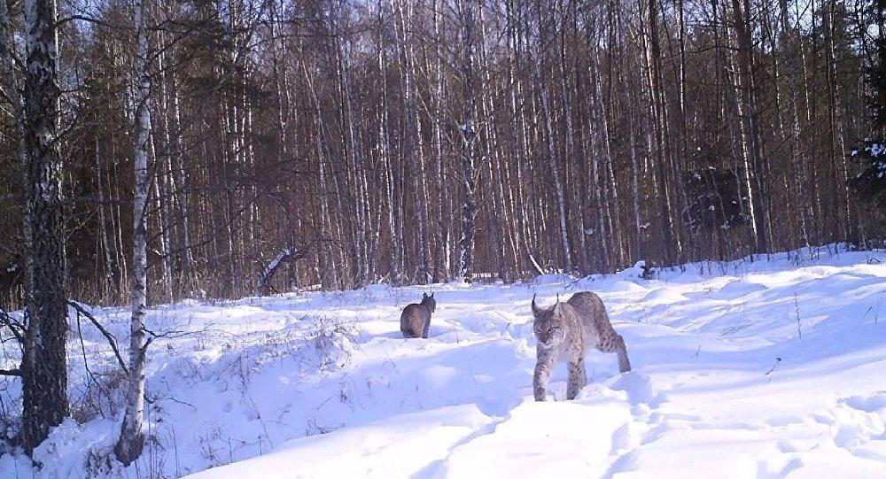 Lynx day in chernobyl's forest