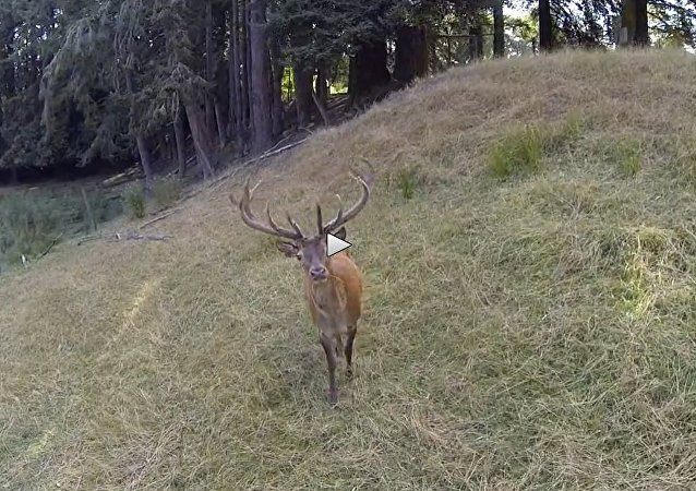 Stag not afraid of drone