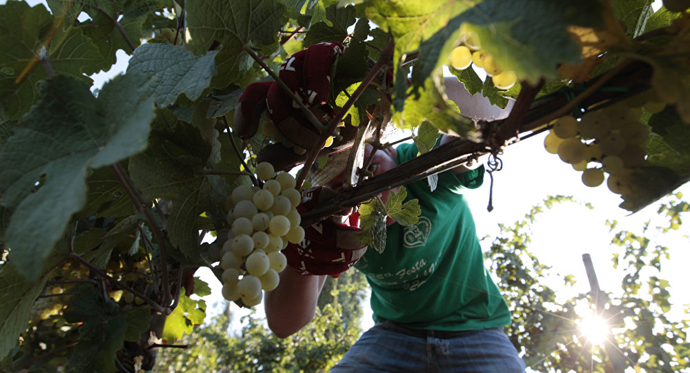 A farmer picks grapes for harvest in the Villa Germaine vineyards of Ariccia, on the outskirts of Rome, Friday, Aug. 24, 2012