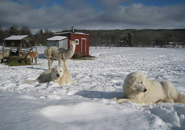 A Maremma Sheepdog named Leo has found a new home at an alpaca ranch.
