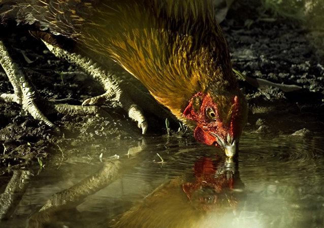 Jurassic Chicken