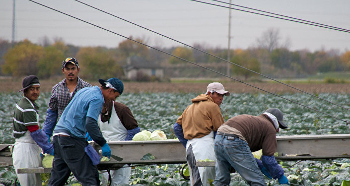 Migrant Workers Picking Cabbages
