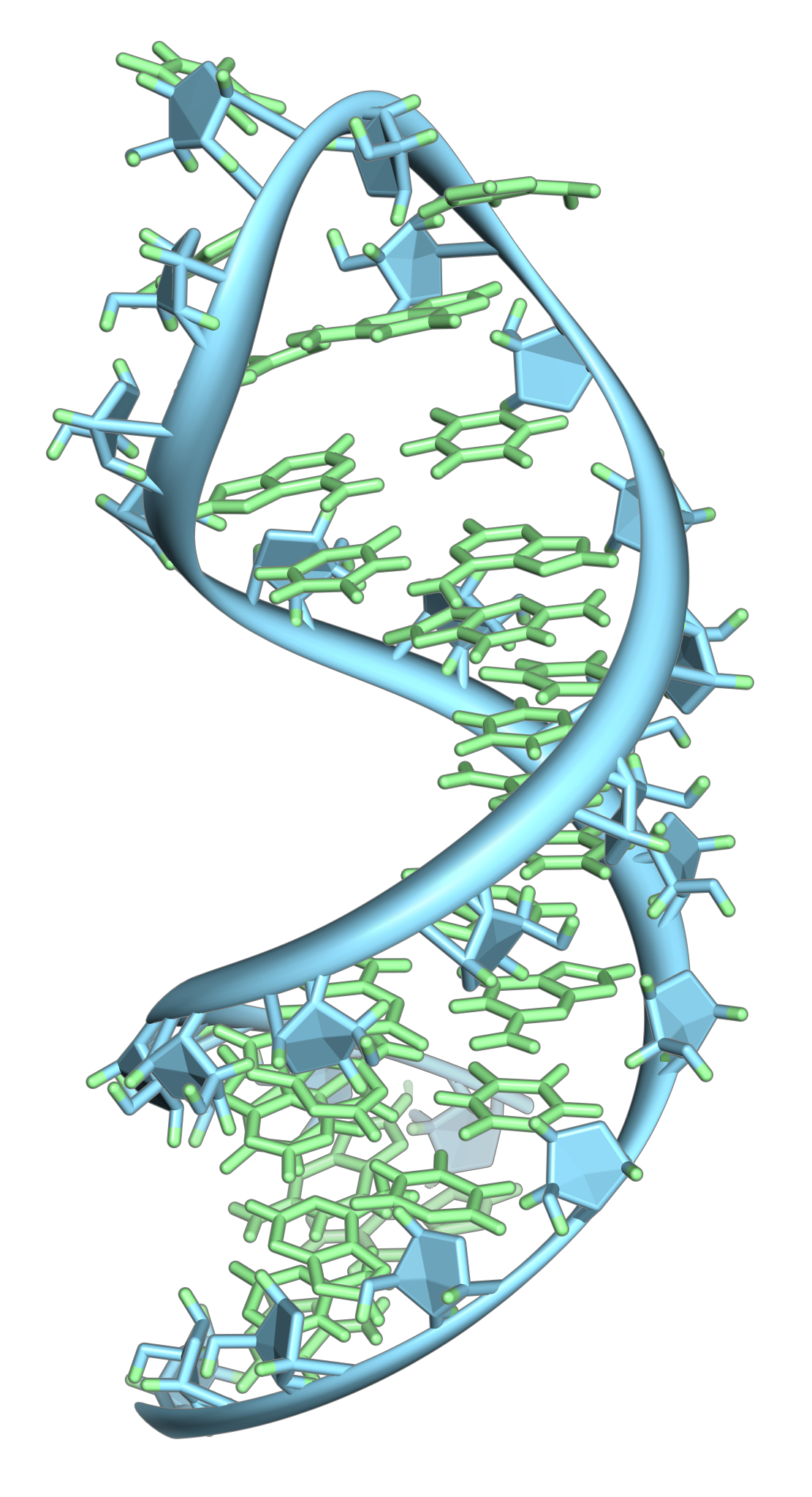 A hairpin loop from a pre-mRNA. Highlighted are the nucleobases (green) and the ribose-phosphate backbone (blue). Note that this is a single strand of RNA that folds back upon itself