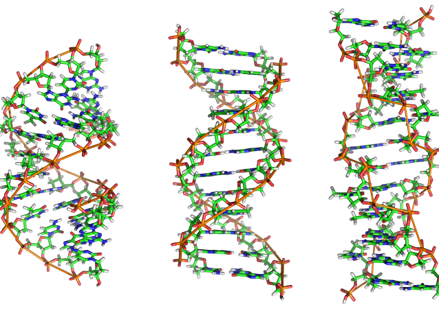 From left to right, the structures of A-, B- and Z-DNA. The structure a DNA molecule depends on its environment. In aqueous enviromnents, including the majority of DNA in a cell, B-DNA is the most common structure. The A-DNA structure is dominates in dehydrated samples and is similar to the double-stranded RNA and DNA/RNA hybrids. Z-DNA is a rarer structure found in DNA bound to certain proteins