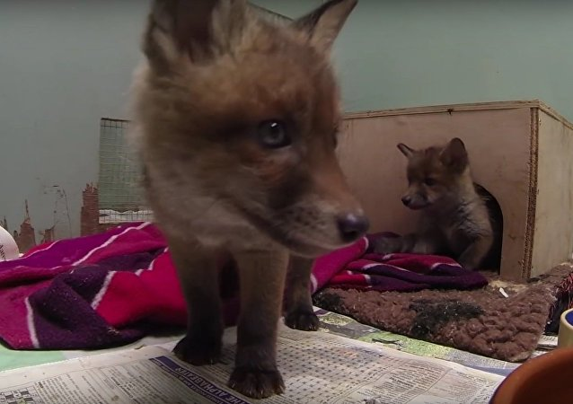 GoPro - Secret life of fox cubs!