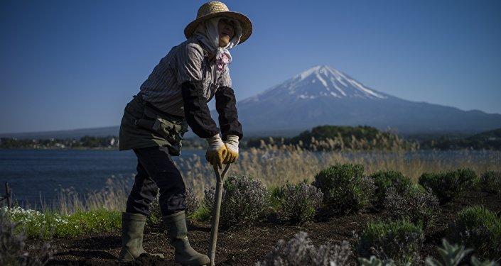A Japanese gardener works by Kawaguchi Lake overlooking Mount Fuji in Fujikawaguchiko on May 13, 2015