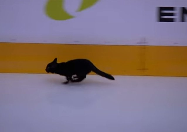 Black cat runs across ice, spells bad luck for Sharks