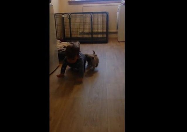 Pug Puppy chase!