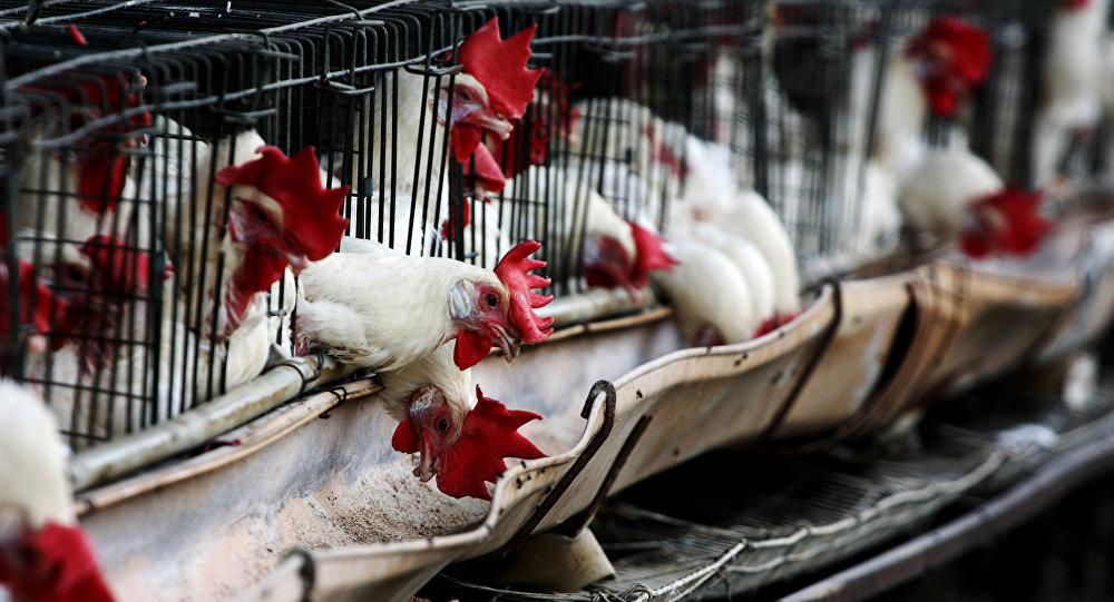 Diapers to Work: US Poultry Workers Denied Bathroom Breaks