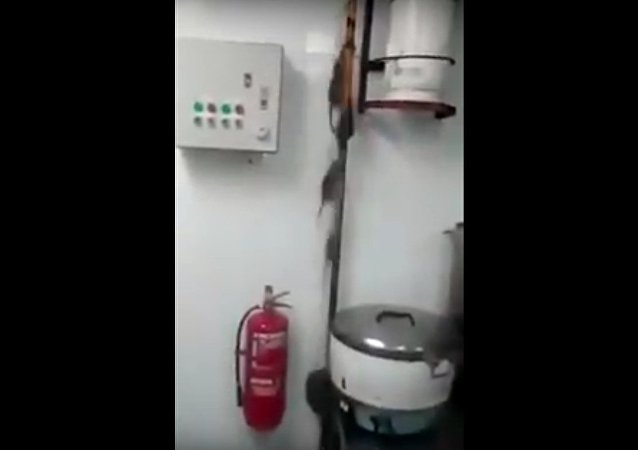 A Bunch Of Rats Run Up A Hole In A Kitchen Ceiling After The Light Gets Turned On