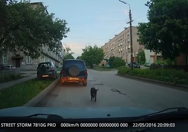 Dog Likes To Drink Vodka And Chase Parked Cars