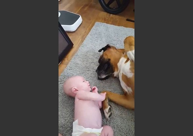 Boxer Dog Loves Baby