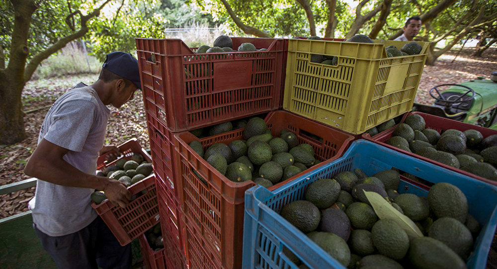Men work during the harvest of avocado at an orchard in Uruapan municipality, Michoacan State, Mexico on April 6, 2016