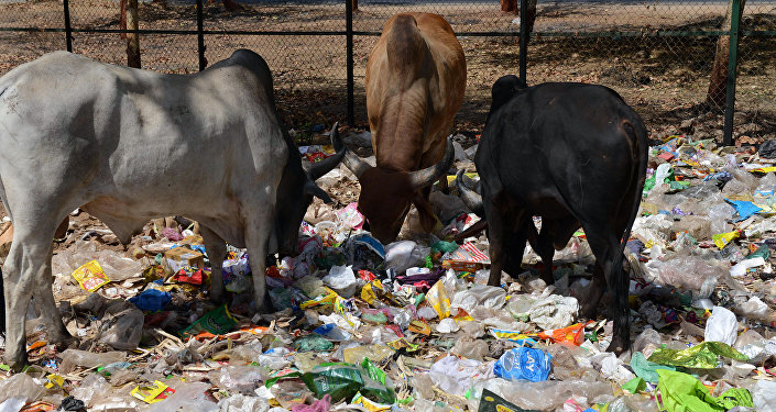 Indian cows eat from a pile of roadside trash in Gandhinagar, capital of western India's Gujarat state, some 30 km from Ahmedabad, on April 13, 2016