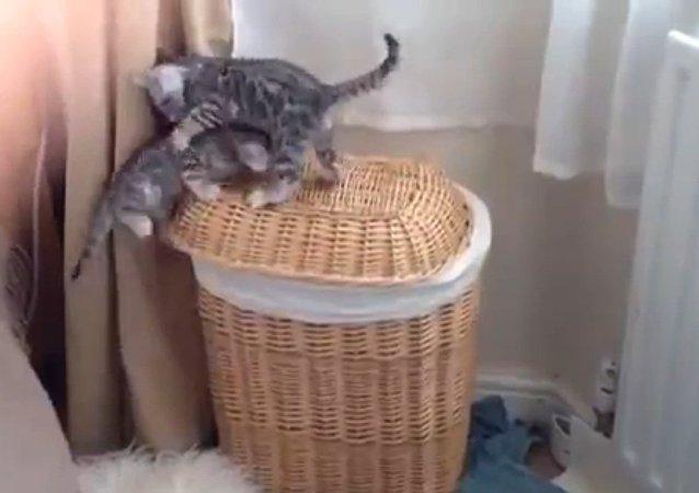 Bengal Kitten Buddies Play