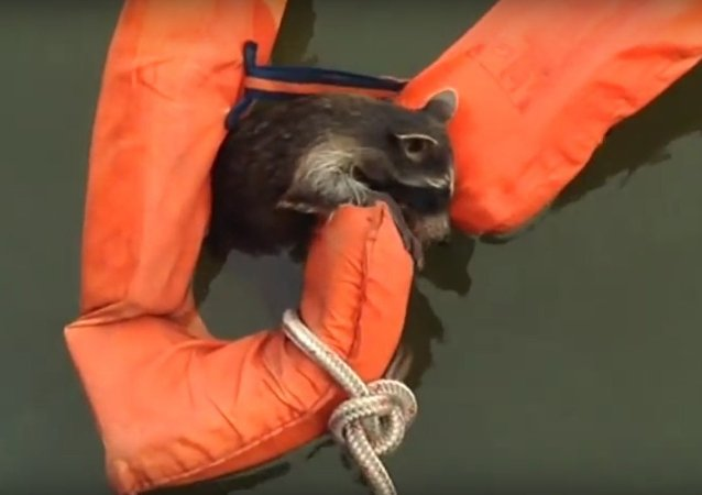 Rescuing Rocky Raccoon in Swann Creek