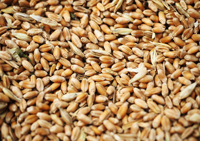 Wheat grain crops
