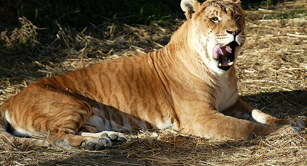 One of Australia's only two tigons, a man-made hybrid created by crossing a male tiger with a lioness, licks its lips at the National Zoo in Canberra.